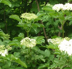Elderberry remedies