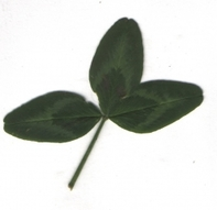 Benefits of clover